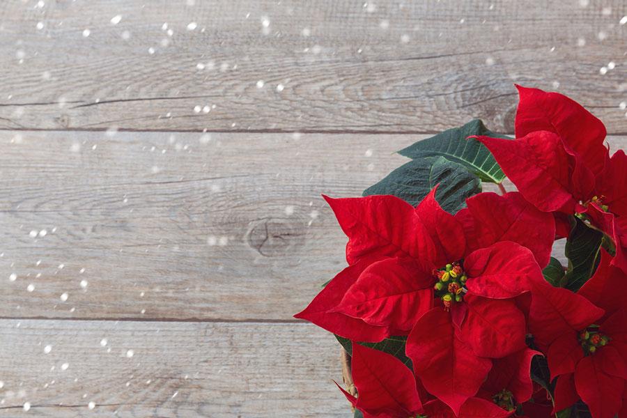 Stelle Di Natale Immagini.Stelle Di Natale Ortofloricola F Lli Salvalaio